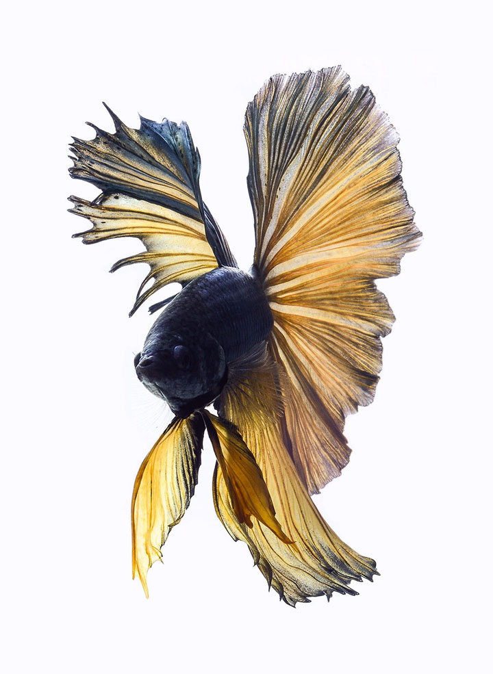 Discover The Sublime Beauty In The Dance Of Siamese Fighting Fish-7