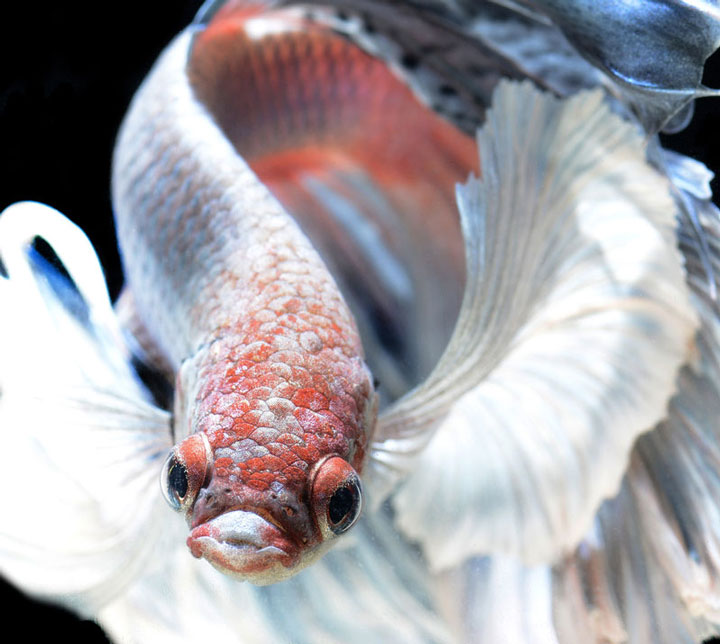 Discover The Sublime Beauty In The Dance Of Siamese Fighting Fish-8