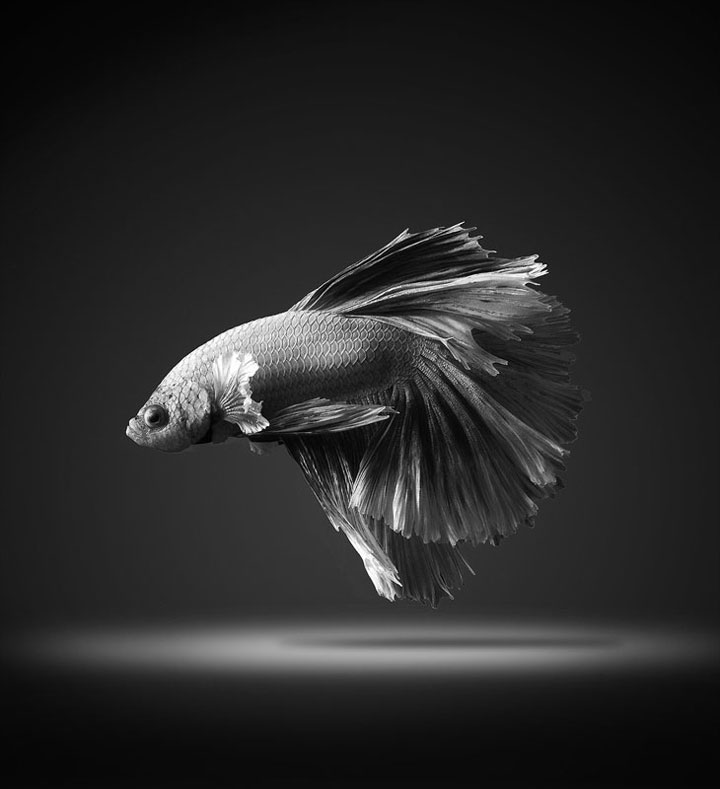 Discover The Sublime Beauty In The Dance Of Siamese Fighting Fish-9