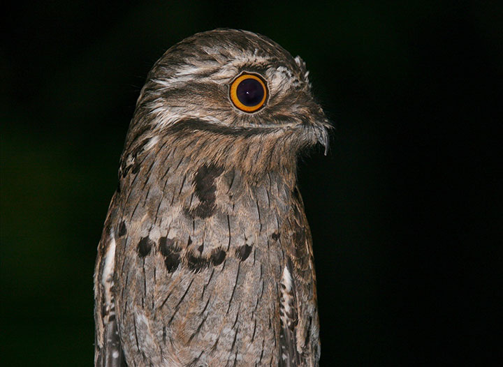 Discover Potoo, Only Bird That Can Camouflage Itself As A Branch-1