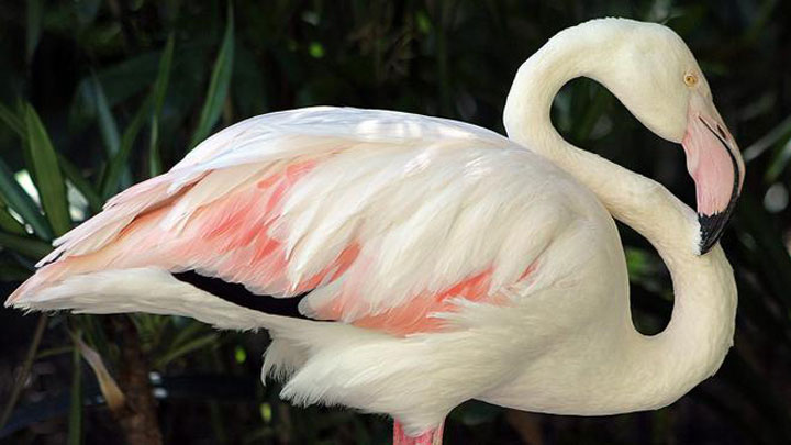 World's Oldest Living Flamingo Dies Aged 83 years, Adelaide, Australia-