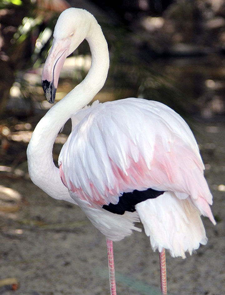 World's Oldest Living Flamingo Dies Aged 83 years, Adelaide, Australia-2
