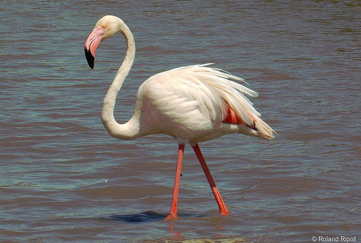 World's Oldest Living Flamingo Dies Aged 83 years, Adelaide, Australia-3