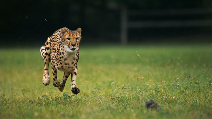 Admire The Elegant Beauty Of Cheetah Running At Full Speed -5