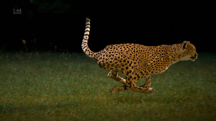 Admire The Elegant Beauty Of Cheetah Running At Full Speed -6