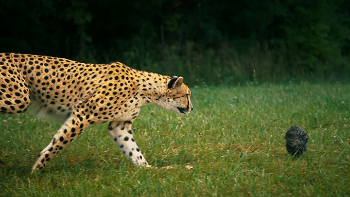 Admire The Elegant Beauty Of Cheetah Running At Full Speed -7