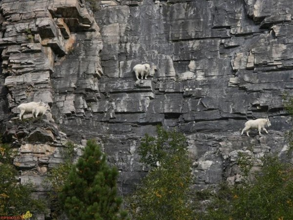 Top 12 Mountain Goats In A Miserable Position While Climbing A Cliff-1