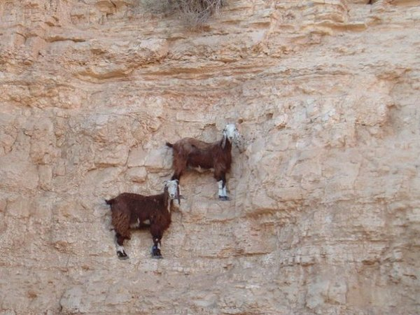 Top 12 Mountain Goats In A Miserable Position While Climbing A Cliff-3