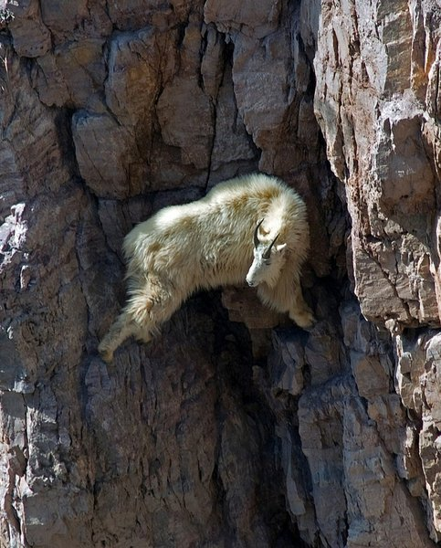Top 12 Mountain Goats In A Miserable Position While Climbing A Cliff-4