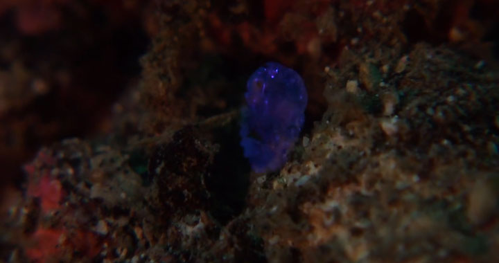 A Tiny Irridescent Sea Sapphire-2