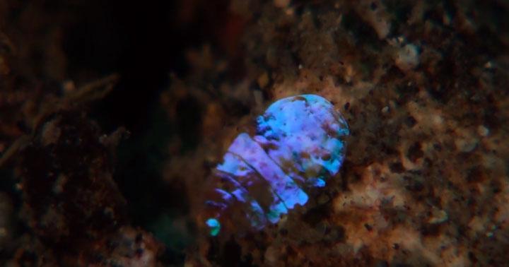 A Tiny Irridescent Sea Sapphire-3