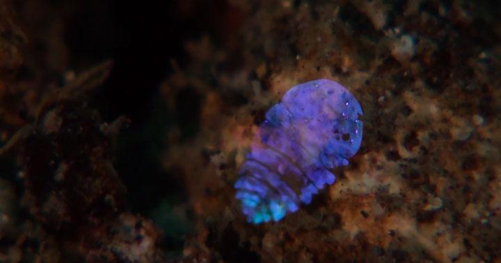 A Tiny Irridescent Sea Sapphire-4