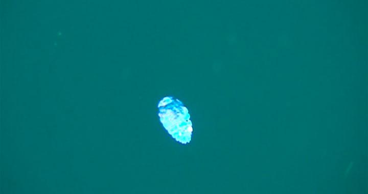 A Tiny Irridescent Sea Sapphire-5