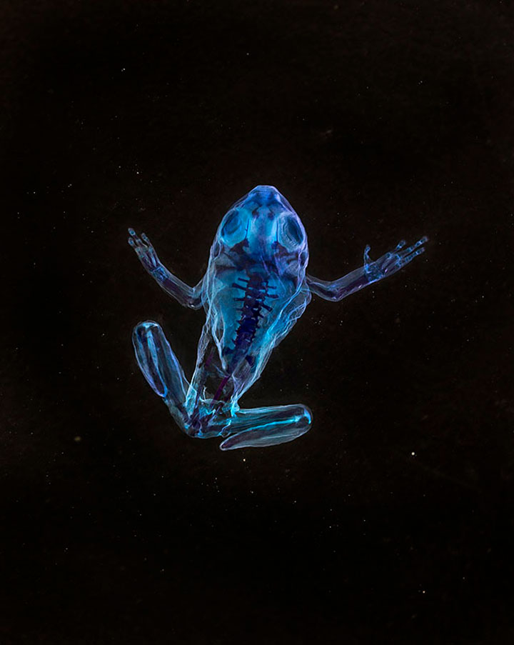 Reliquaries: Stunning Portraits Reveal Malformations In Frogs And Tadpoles-