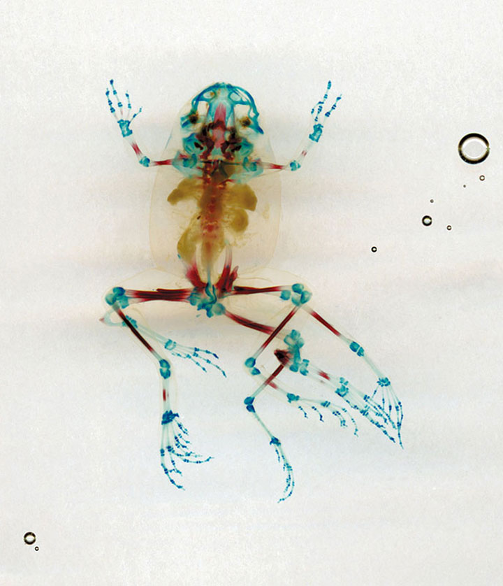Reliquaries: Stunning Portraits Reveal Malformations In Frogs And Tadpoles-12