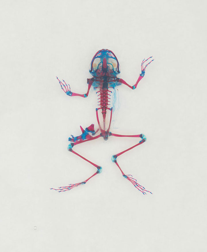 Reliquaries: Stunning Portraits Reveal Malformations In Frogs And Tadpoles-5