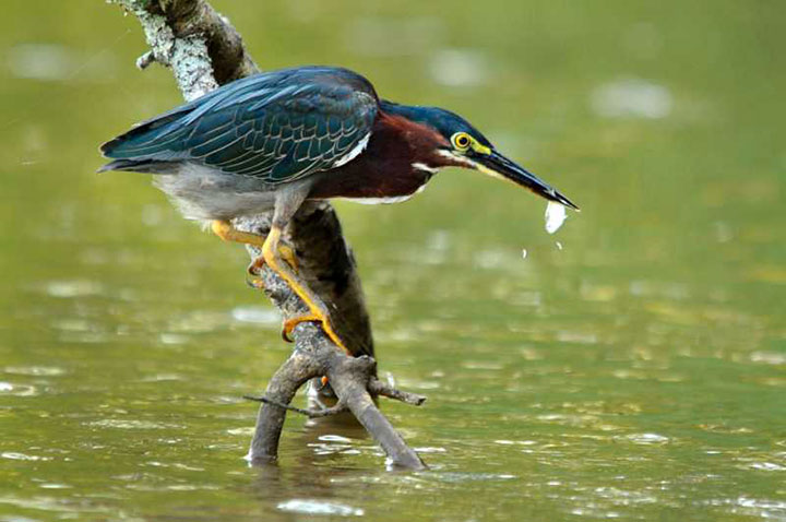 A Bird Uses An Ingenious Strategy To Catch Fish Using A Piece Of Bread (Video)-2
