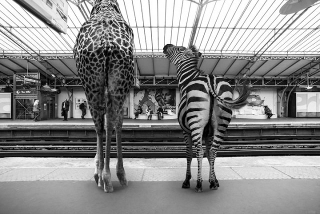 Animals Of Savannah In Paris Metro-1