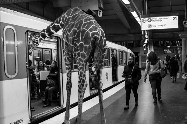 Animals Of Savannah In Paris Metro-12