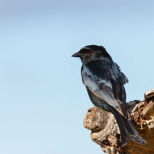 Spangled Drongo Steals Food Of Other Animals By Faking Their Distress Cries-2