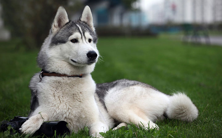 Spain Husky-Most Beloved Dog Breeds Worldwide-