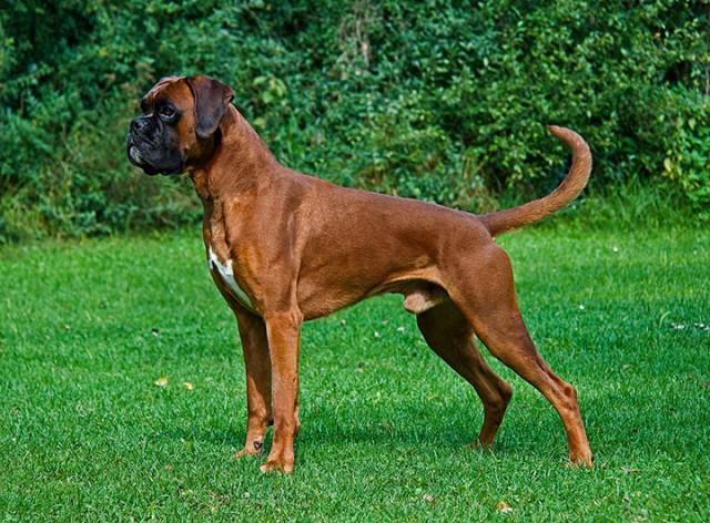 UK-Boxer-Most Beloved Dog Breeds Worldwide-1