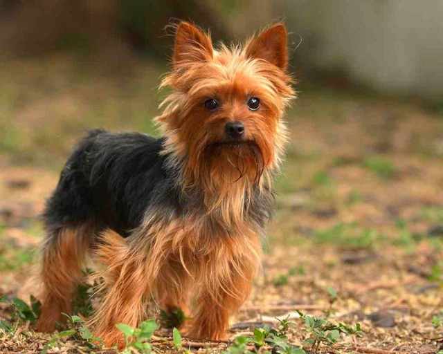 Yorkshire Terrier-Chile-Most Beloved Dog Breeds Worldwide-11
