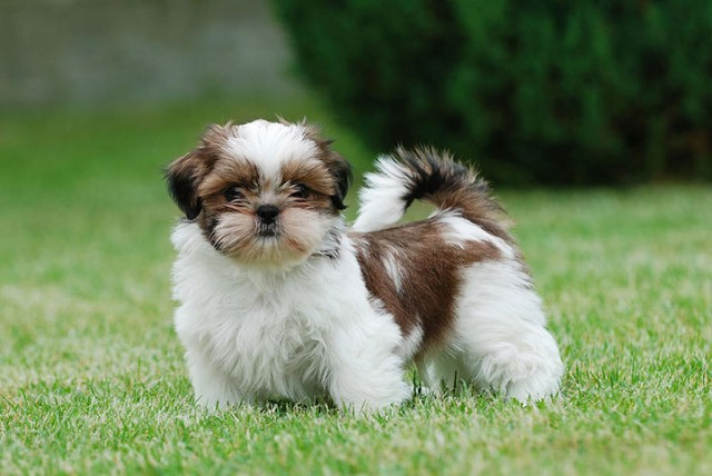 Brazil-Shih Tzu-Most Beloved Dog Breeds Worldwide-13