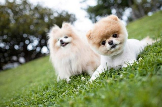 Pomeranian-Thailand-Most Beloved Dog Breeds Worldwide-14