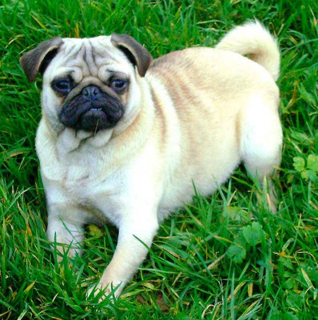 Carlin-South Korea-Most Beloved Dog Breeds Worldwide-15