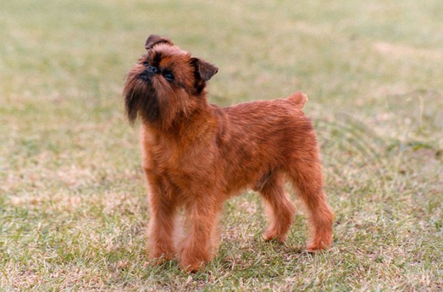 Italy-Griffin-Most Beloved Dog Breeds Worldwide-2