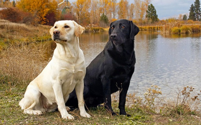 Canada-Labrador-Most Beloved Dog Breeds Worldwide-21
