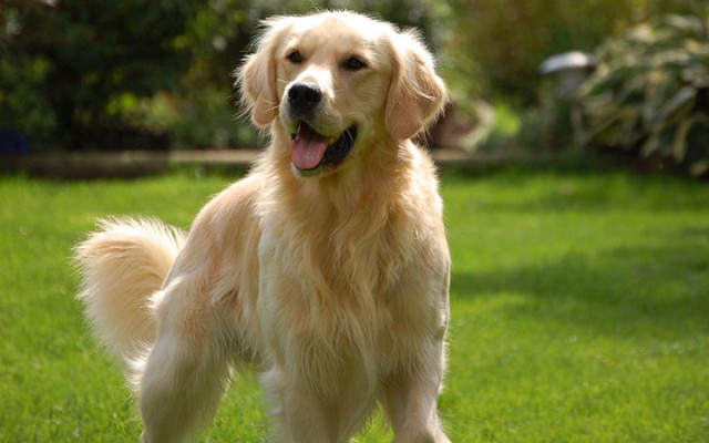 Canada-Golden Retriever-Most Beloved Dog Breeds Worldwide-6