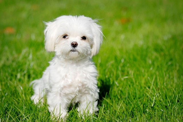 Israel-Maltese-Most Beloved Dog Breeds Worldwide-9