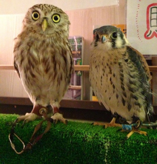 An Unusual Owl Bar Where You can Drink Coffee While Cuddling Owls-16