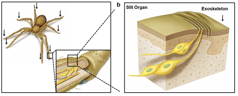 Inspired From Spider Legs Scientists Develop A High Precision Sound Sensor-