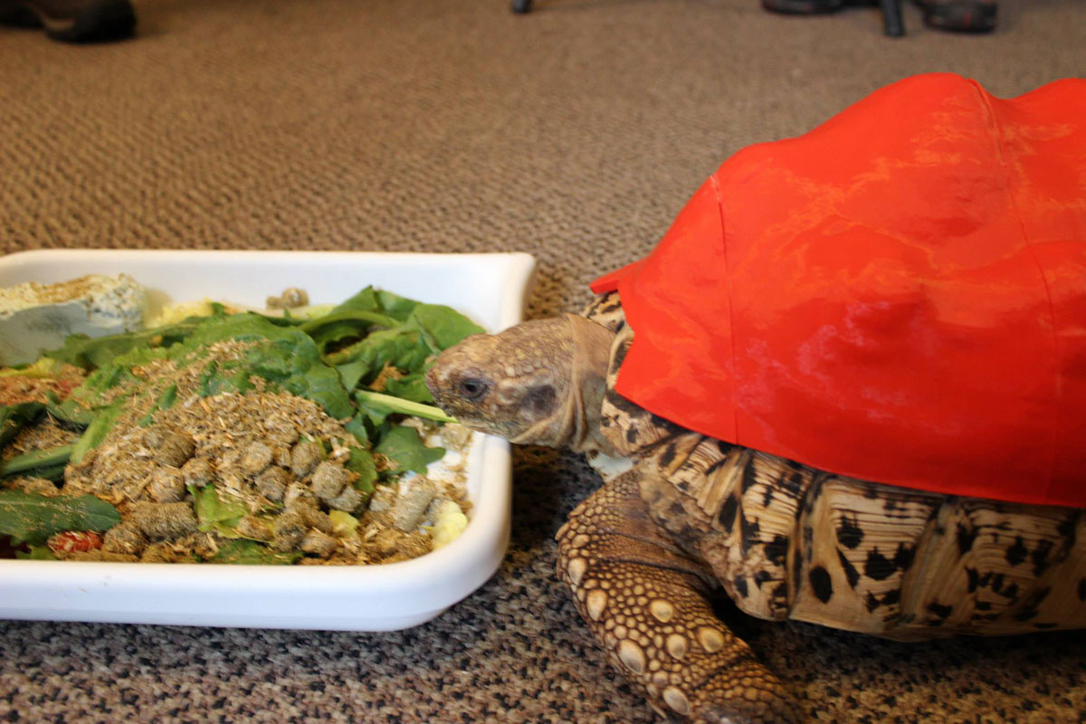 3D Printing Gives A New Life To Turtle Cleopatra-8