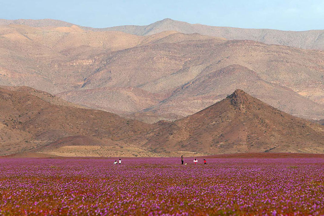 Discover The Explosion Of Colors In Atacama Desert After The Rainfall -4