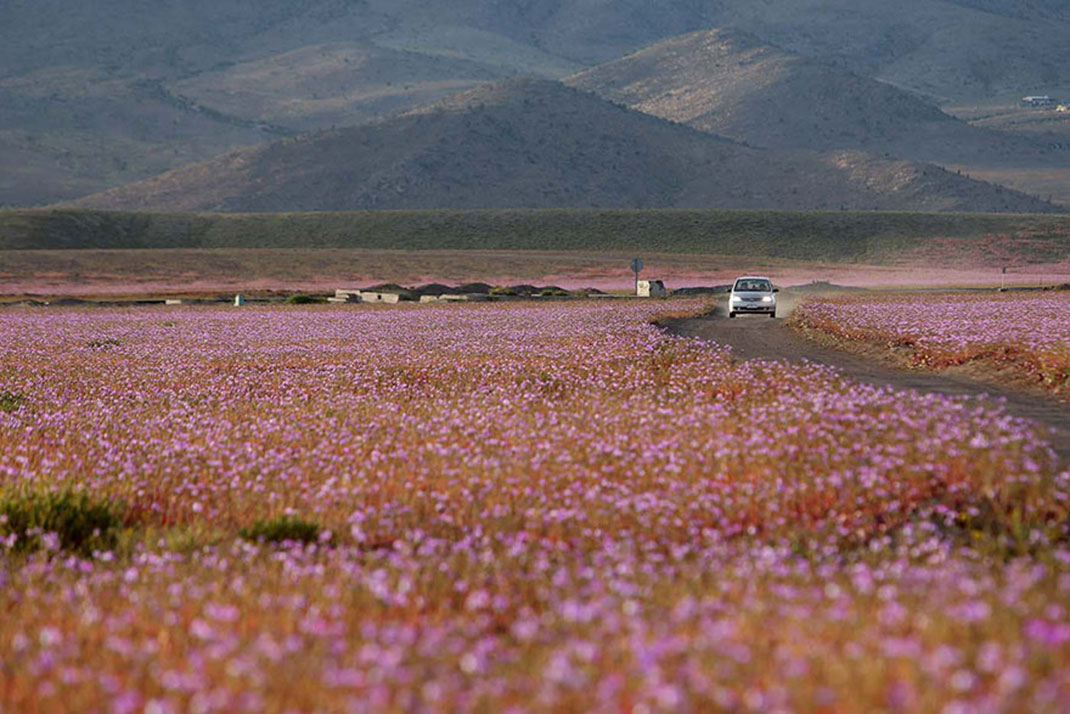 Discover The Explosion Of Colors In Atacama Desert After The Rainfall -7