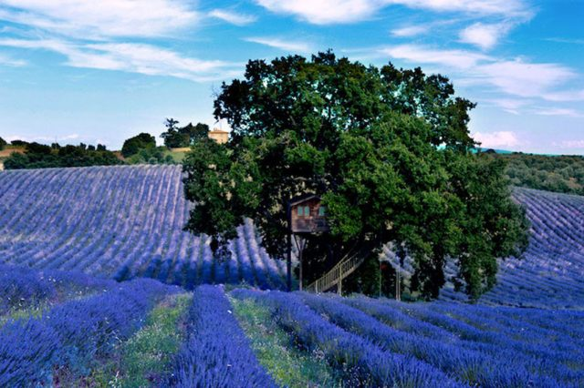 Blue Suit: A Beautiful Cabin Nestled In Trees In The Heart Of A Lavender Field--6