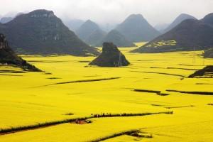 Rapeseed fields, China