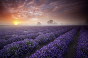 Lavender fields, the UK and France