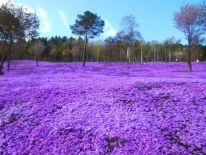 Flowers Shibazakura to Takinoue Park, Japan