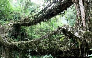 cherrapunji living bridges in India from tree roots