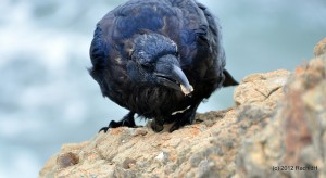 See The Beautiful Feathers Of Blue Raven In The Sunshine-