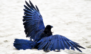 See The Beautiful Feathers Of Blue Raven In The Sunshine-6