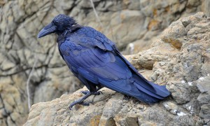 See The Beautiful Feathers Of Blue Raven In The Sunshine-7