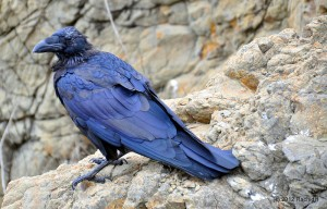 See The Beautiful Feathers Of Blue Raven In The Sunshine-9