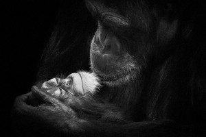 Chimpanzees-Mysterious beauty of animals captured in portraits-2