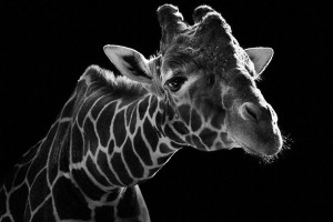 Giraffes-Mysterious Beauty Of Animals Captured In Striking Portraits-1